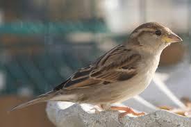 Nc Backyard Birds Other Brown Birds Photos Of House Sparrows House Wrens House
