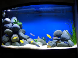 best 25 cichlid aquarium ideas on pinterest cichlids african
