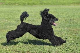 affenpinscher qualities small dogs that don u0027t shed american kennel club