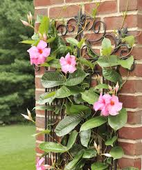 make space for the very mesmerizing mandevilla plant in your garden