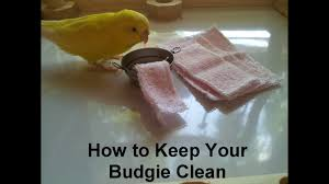 how to keep your budgie clean youtube