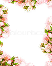 pink and roses fresh pink roses frame border isolated on white background stock