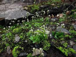 rock garden plants for shade darxxidecom