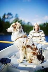 australian shepherd overprotective australian shepherd pure happiness by msnessix deviantart com