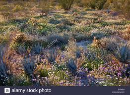 anza borrego wildflowers desert wildflowers in coyote canyon anza borrego desert state park