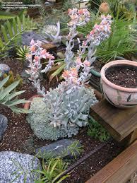 echeveria runyonii u0027topsy turvy u0027 succulent plants pinterest