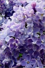 lilac flowers susan homer les lilas au printemps seront toujours en fleurs