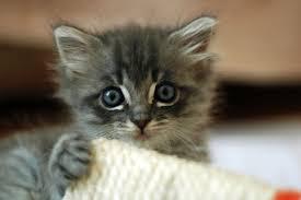 file cute grey kitten jpg wikimedia commons