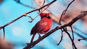 simplywallpapers com cardinal bird red black branch christmas