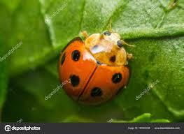 was ist das für ein insekt eine wanze oder was urlaub insekten makroaufnahme einer wanze insekt marienkäfer auf blatt in der