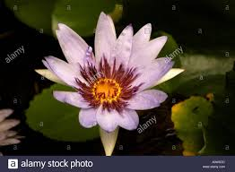 Tropical Fragrant Plants Tropical Plants Flowers Purple Water Lily Stock Photo Royalty
