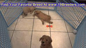 goldendoodle puppy virginia goldendoodle puppies for sale in billings montana mt