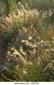 ornamental grasses stock photos ornamental grasses stock images
