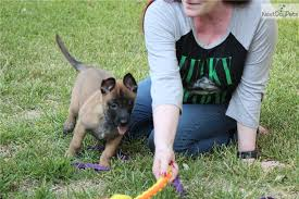 belgian sheepdog for sale in texas tierra belgian shepherd malinois puppy for sale near san antonio
