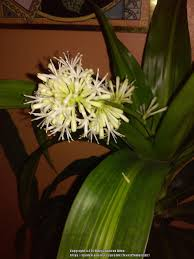 photo of the seed pods or heads of corn plant dracaena fragrans