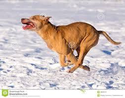 american pitbull terrier merchandise american pit bull terrier running in snow stock photo image