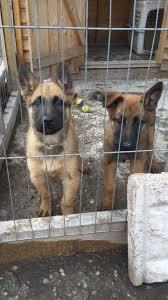 belgian shepherd x mastiff 2 german shepherd x belgian malinois pups for sale tamworth