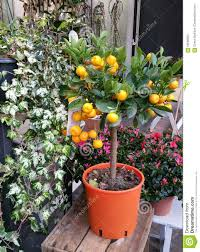 ornamental orange plant stock photo image of plant shop 66266850