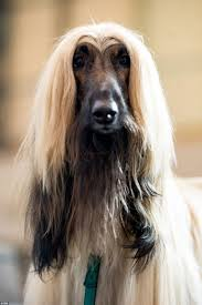 afghan hound calendar 2015 crufts 2015 day three brings a splash of colour to the world