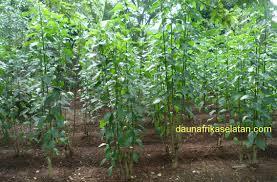 Teh Afrika tanaman daun afrika selatan