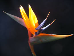 birds of paradise flower propagating bird of paradise plants growing bird of paradise