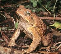 How To Get Rid Of Cane Toads In Backyard Cane Toads Brisbane City Council