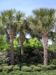 florida native palm trees u2014 xlb palm trees