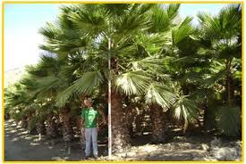 mexican fan palm growth rate gregory palm farms mexican fan palms washingtonia robusta 100