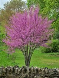 bald cypress landscaping trees shades and shade trees
