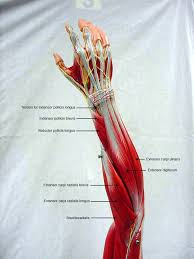 Human Anatomy Muscle Textbook Of Anatomy And Physiology Human Body Pinterest