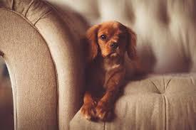 comment empecher mon chien de monter sur le canapé mon chien monte sur le canapé tout ce qu il faut savoir sur les chiens