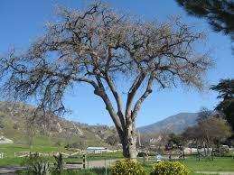 mighty oak felled backcountry writer