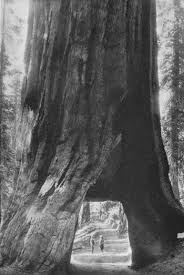 Chandelier Tree California The Myth Of The Tree You Can Drive Through Sequoia