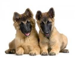 belgian tervuren club colorado breed info alpine hospital for animals boulder colorado