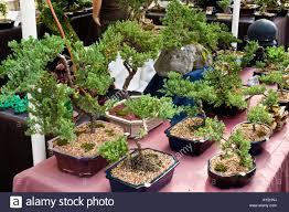 display of small bonsai trees on a table for sale stock photo