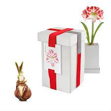 amaryllis bulbs gift box givingplants