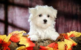 cute puppies 2 wallpapers images of cute puppies 2 wallpapers sc