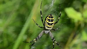 wasp spider argiope bruennichi beautiful sit spyderweb striped