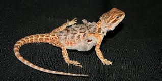 supplying the correct humidity for pet bearded dragons