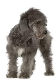 bedlington terrier stud breeders online pedigree breed info bedlington terrier
