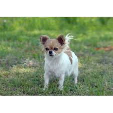 affenpinscher and chihuahua chihuahua longhaired dog breeds dog com