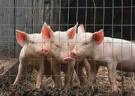 3 pigs die