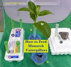 5 ways to serve monarch caterpillar food milkweed cuttings