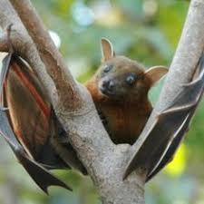 mammiferi volanti risultati immagini per immagini pipistrelli vivi mammiferi