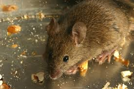 facts about the mouse and its antics liddle rascals