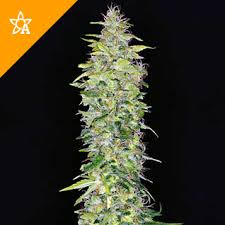 northern lights yield indoor lights automatic seeds weed seed shop
