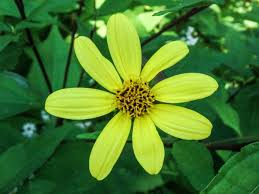 non native plant helianthus new hampshire garden solutions