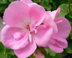 Pretty Types Of Flowers - types of flowers pretty pink geranium flowers pictures