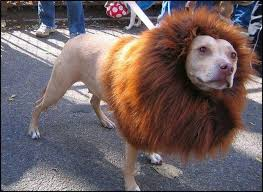 lion dogs lion dog pictures of animals