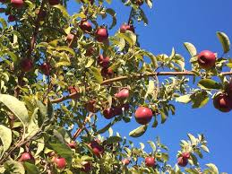 best places to go apple picking apple picking near me delish com
